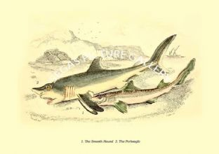 Smooth Hound  - Porbeagle